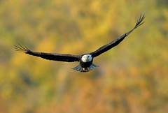 American Bald Eagle (Mark Schwall) Tags: autumn bird fall yellow md nikon eagle ngc flight baldeagle maryland foliage raptor manualfocus haliaeetusleucocephalus birdofprey americanbaldeagle subadult conowingo harfordcounty conowingodam d300s nikkor600mmais