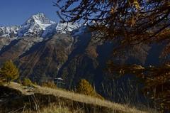 Mountain Summer In Fall (AincaArt) Tags: autumn mountain tree fall berg schweiz switzerland ast branch suisse herbst l svizzera larch wallis baum valais indiansummer lärche svizra lötschental bietschhorn altweibersommer mungga nikond7000 genuslarix mountainsummerinfall aincaart