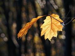 Autumn Tears and Smiles (R_Ivanova) Tags: autumn fall nature yellow forest lights bokeh sony природа supershot thegalaxy mygearandme mygearandmepremium mygearandmebronze mygearandmesilver mygearandmegold ruby10 rivanova ruby15 flickrstruereflectionlevel1 rememberthatmomentlevel4 rememberthatmomentlevel1 rememberthatmomentlevel2 rememberthatmomentlevel3 ruby20 риванова