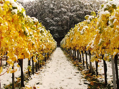 The first Snow in the autumn Vineyards (Habub3) Tags: park travel schnee autumn white holiday snow fall texture nature colors leaves lines yellow forest canon germany garden landscape deutschland gold vineyard reisen flora europa europe stuttgart urlaub laub herbst natur vine powershot gelb landschaft wald bunt vacanze 2012 wein weinberg korb g12 remstal gartzen habub3 mygearandme