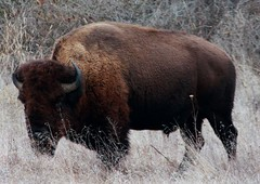 buffalo (ussldr) Tags: buffalo