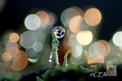 Trompetenflechte  / Cladonia fimbriata (3) (Ellenore56) Tags: light inspiration color colour detail macro reflection nature rain weather glitter diamonds botanical licht photo flora focus waterdrop foto magic sunday natur perspective twinkle drop diamond sparkle fungi raindrops vista droplet imagination outlook lichen moment sparkler makro flechte magical spark farbe reflexion sonntag rainfall regen raindrop wetter perspektive reflektion wassertropfen tropfen diamant augenblick fokus waterdroplet cladonia botanik regentropfen trpfchen faszination diamanten funkeln cladoniaceae cuplichen stmmchen pflanzenwelt cladoniafimbriata trompetenflechte sonya350 schlauchpilz ellenore56 podetium podetien flechtenart 06012013