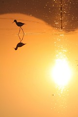 | Agricultural Wetland in Hong Kong (John Chan -HK) Tags: sunset bird hongkong  magichour wetland  longvalley sheungshui