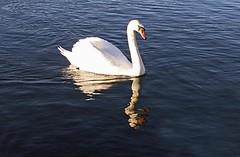 Swan & Reflection Swanpool Lake Falmouth Cornwall (Cornishcarolin. Problems posting thanks xxx) Tags: nature cornwall falmouth swanpool