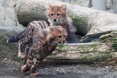 (GenJapan1986) Tags: 2013      zoo japan tokyo  animal cheetah  nikond90