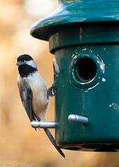 DSC_0261.jpg (Ncaughlan) Tags: life wild bird nature birds nikon wildlife chickadee birdwatching smallbirds d3000