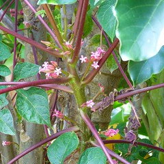 Auckland Botanical Gardens, Manurewa, South Auckland, New Zealand (Sandy Austin) Tags: pink flowers newzealand papaya northisland manurewa pawpaw aucklandbotanicalgardens southauckland sandyaustin panasoniclumixdmcfz40