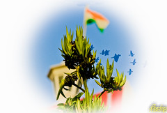 (Rambonp love's all creatures of Universe.) Tags: wallpaper india white plant green birds canon freedom paradise flag hdr tricolour rajasthan republicday nationalflag kesri