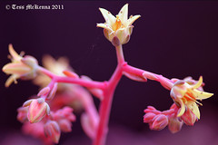 Echeriva 039 copy  Explore Jan 27, 2013 #10 (Tess Mc Kenna Home) Tags: pink flowers flower macro nature yellow gardens closeup garden botanical flickr cannon botanicgardensdublin botanicgardensglasnevindublin nationalbotanicgardensglasnevindublin echeriva