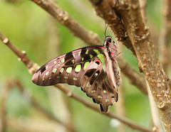 Graphium agamemnon (The Tailed Jay / Green-spotted Triangle / Tailed Green Jay / Green Triangle) (Roger Wasley) Tags: graphiumagamemnon greentriangle tailedjaybutterfly greenspottedtriangle tailedgreenjay greenspottedtrianglebutterfly greentrianglebutterfly thetailedjay tailedgreenjaybutterfly