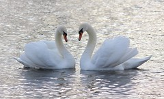 Swan Love   [Explored 2/2-13] (Mrscurlyhead) Tags: winter friends white lake cold love nature water birds norway canon swan heart explore swans dreamy serene graceful frozenwater heartshaped elegance swancouple canoneos60d