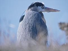 Jake's Blue (Feathered Trail Photos) Tags: heron mfcc jakeslanding thegalaxy njaudubon buckinghamnaturephotography