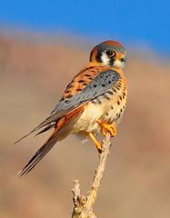 American Kestrel (Bill Gracey) Tags: california bird nature desert raptor falcon desierto predator americankestrel sparrowhawk anzaborregodesertstatepark falcosparverius blinkagain