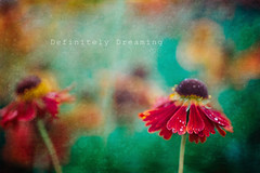 Flowers & Textures (DefinitelyDreaming) Tags: texture flowers floral macro droplets raindrops red colourful 2lilowls sonya99 creative flower photography
