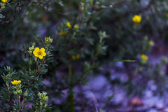 Yellow and Purple (merobson) Tags: flower morning bloom yellow purple