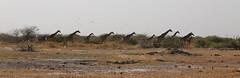Giraffe Run II (www.mattprior.co.uk) Tags: adventure adventurer journey explore experience expedition safari africa southafrica botswana zimbabwe zambia overland nature animals lion crocodile zebra buffalo camp sleep elephant giraffe leopard sunrise sunset