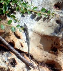 Lizard (LAURA CLIMENT - PHOTOS) Tags: lauraclimentphotographer lizard lagartija reptil jardn