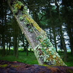 The only way is up (Premysl Fojtu) Tags: tree forest ivy nature plant green wildlife wilderness moss woods isle arran island scotland uk 2016 july summer countryside dslr canon eos 5dmkii fullframe ef1740 square beautiful landscape diagonal