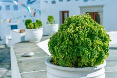 Basilico (t_aris) Tags: sifnos island vacation summer greece hellas basilico plant green sonyalpha sony a5000 mirrorless emount outdoor 1650mm kit kitlens