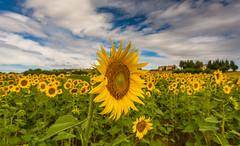 hill of sunflowers (lorenzapanizza) Tags: collinemarchigiane campodigirasoli girasoli sky clouds marche italia giallo yellow landscapephotography landscapephoto landscape sunflowers sunflower hill