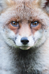 A Silver Face (LawrieBrailey) Tags: wild urban red fox silver fur grey white male dog eyes head headshot close up face nose wildlife photo photograph photography lawrie brailey wwwlawriebraileycouk nikon d3 afs nikkor 300mm f40