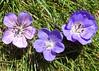 Havana Blues, Brookside and Roxanne Geraniums (Bugldy99) Tags: geranium flower plant natuer outdoors dragonheart