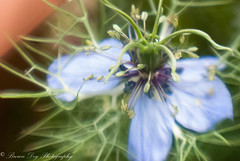 A Flower of my Emotions that have been all over the place, and I can't get a sense of them from time to time. (Sitch2) Tags: d80 nikon lensbaby composerpro plastic optic unknown flower wildflowers garden messy blue flowers
