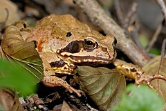 Erdkrte 3 (DianaFE) Tags: krte reptil dianafe schrfentiefe tiefenschrfe makro