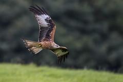 Red Kite (Paul..A) Tags: redkite red kite raptor bop hawk birdofprey