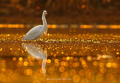 The Golden Glitter (T@hir'S Photography) Tags: bird animal wildlife bokeh nature pakistan sialkot birder watcher feathers sunset fishing sunrise flying fluegel walking wonderful beach hunting white sand bright flutter meer clouds nice sky romantic shows golden dawn dusk background beak beauty color egret elegant fish fog gold great heron horizontal image kruger lake light marsh mist morning national natural orange outdoors park pond elegance everglades landscape love birdsofsialkot headmarala marala headworks eye level surface water dof 2016