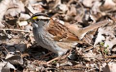 IMG_6090  White-throated Sparrow (ashahmtl) Tags: whitethroatedsparrow sparrow zonotrichiaalbicollis longpointprovincialpark norfolkcounty ontario canada