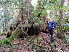 The tree is in the way (flashmick) Tags: antarctic beech queensland bushwalk ballow barney mtbarney winter august daywalk foliage vegetation trees