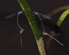 Blue Ringtails : Lovers in love . . . (Clement Tang **) Tags: blueringtail austrolestesannulosus insect insecta male female mating damselfly nature nationalgeographic concordians closetonature autumn candlebarkpark wildlife macrophotography closeup victoria australia twopairs specinsect ngc
