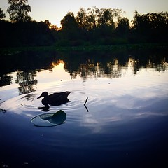 duck silhouetted (shannonkringen) Tags: duck sillouette