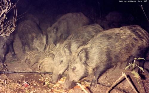 Wild pigs at Gamla.  June 1987.