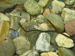 Fleckengrundel (schnonkel) Tags: ostsee bohusln schweden pomatoschistus pictus unterwasser fleckengrundel kattegat urlaub tjrn