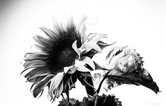 Sunflower (Joni Mansikka) Tags: blackandwhite nature flower sunflower bw petals leaves summer paimio suomi finland sel1855