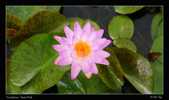 Nymphaea 'Siam Pink' (P.LeToq) Tags: nenuphars sonya77 fleurs waterlilies
