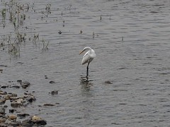 Great egret () (Greg Peterson in Japan) Tags: birds yasu rivers shiga egretsandherons yasugawa deba ritto wildlife japan shigaprefecture jpn