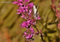 Kohlweissling (GerWi) Tags: kohlweissling butterfly schmetterling anflug natur nature outdoor tiere insects insekten