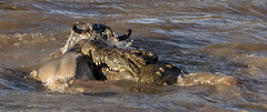 Close-up of Crocodile Attacking Wildebeest during a Crossing of the Mara River (John Hallam Images) Tags: closeup crocodile attacking wildebeest crossing mara river marariver masaimara kenya safari