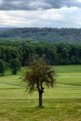Mistletoe tree (Vitatrix) Tags: outdoor natur nature pflanzen baum misteln mistletoe landschaft landscape albvorland