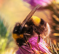 (s.lang534) Tags: nature natur hummel sommer sommerwiese august yellow gelb schwarz black lumixgx7