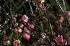 梅花 Plum Flowers (ReFinism) Tags: taiwan canon 650d eos650d landscape flower plumflower plant