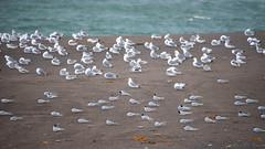 Take a break from this world (OR_U) Tags: 2016 oru iceland borgarfjrureystri gulls birds sand beach 169 widescreen hff sandbank