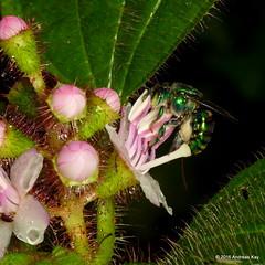 Euglossa sp. & Tococa guianensis (Ecuador Megadiverso) Tags: andreaskay ecuador apidae apinae euglossinebee euglossini flower hymenoptera melastomataceae myrmecophyte orchidbee tococaguianensis euglossasp