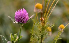 Fall Ball II (Kojaniemi) Tags: clover plant flower trifoliumpratense kimmoojaniemi meadow lea dew morningdew dawn