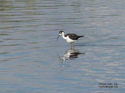 Black-necked Stilt - Burnaby, BC