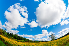 Fisheye Sky (hz536n/George Thomas) Tags: 2016 cs5 canon canon5d ef15mmf28fisheyeusm flora michigan prescott summer copyright fisheye flower nik sky upnorth clouds trees