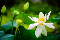 Pond Flowers (georgeplakides) Tags: waterplant kewgardens london royalbotanicgardens